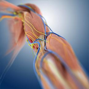 Mecanismos moleculares involucrados en la pérdida de tejido muscular en la sarcopenia Por: Ricardo Rendón
