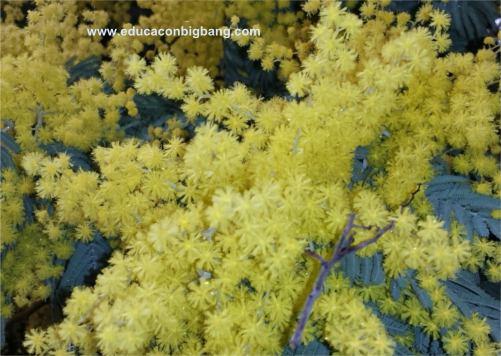 Detalle de las flores de la mimosa