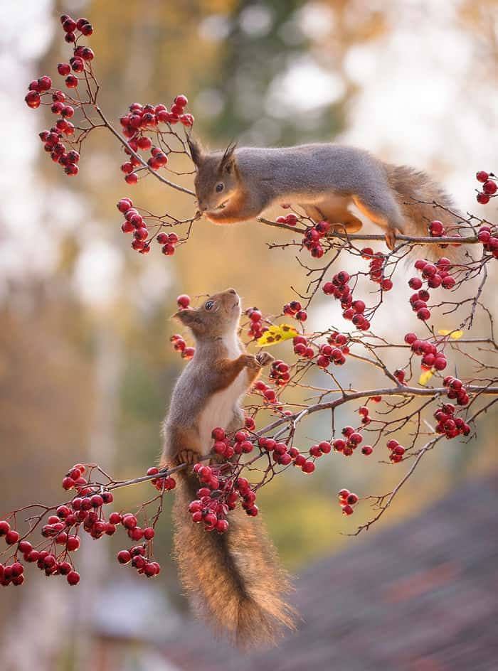 Squirrels with berries