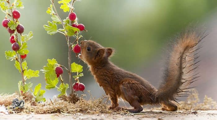 A squirrel eating a berry