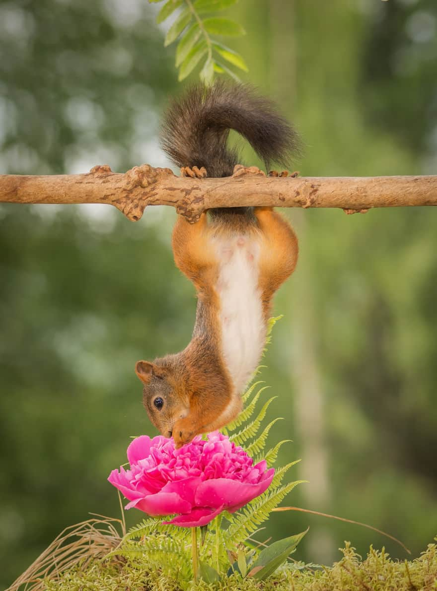 A squirrel upside-down with a flower