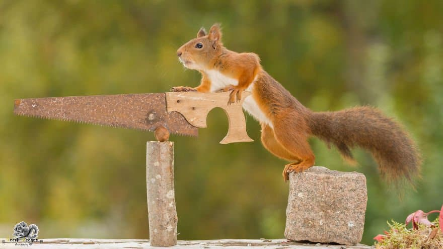 A squirrel with a saw