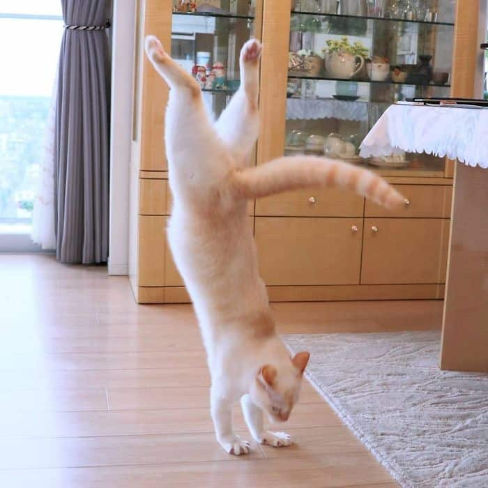 Chaco the dancing cat dance moves
