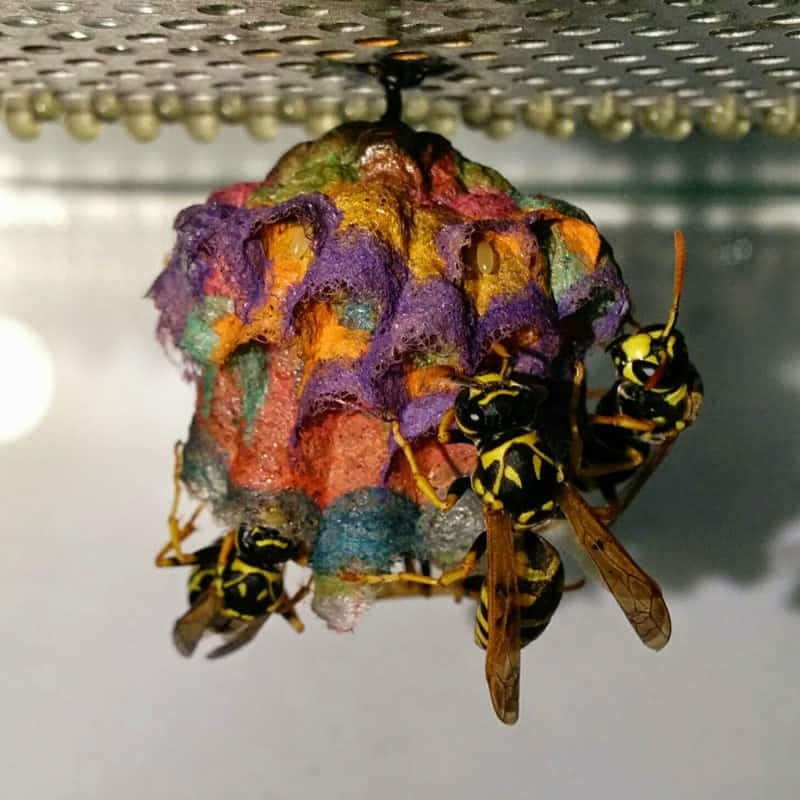 wasps use colored paper to make rainbow colored nests 9