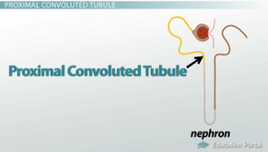 The Renal Tubule: Definition, Function & Terms - Video ...