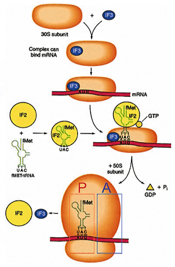 Have Codon Table Mrna