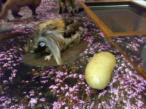 A preserved haggis in an Edinburgh museum