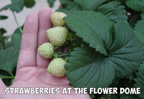 strawberries inSingapore