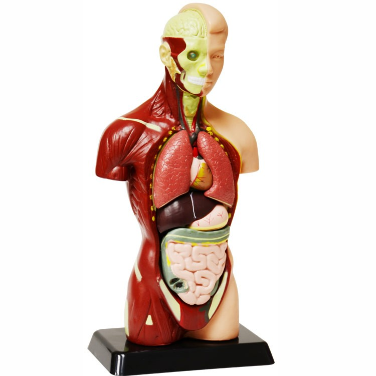 Human Body Anatomy Model - 10 Inches - Educational Toys Planet
