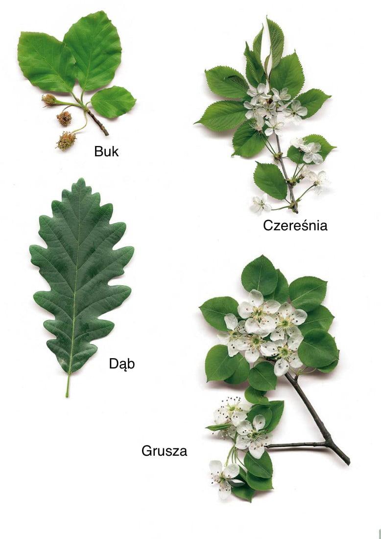 Jesienne liście - nazwy drzew Dzień Drzewa Jesień Kalendarz świąt Plansze edukacyjne (Jesień) Wrzesień