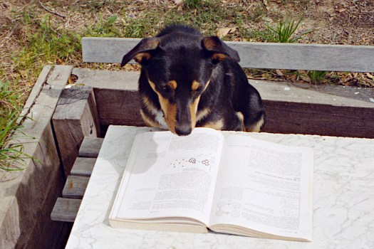 A dog stares uncomprehendingly at a chemistry textbook. He is a good dog.
