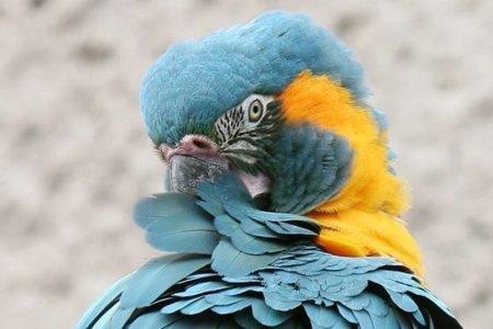 blauwkeel ara
