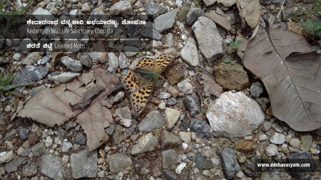 A leopard dotted moth, camouflaged between the rubles