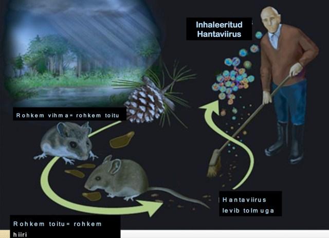 Ettevaatust: Soomes levib Puumala viirus, mis võib kaasa tuua raske haiguse