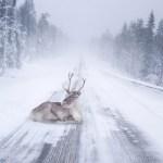 Kas teadsid – Soomes tegutseb politsei-põhjapõder