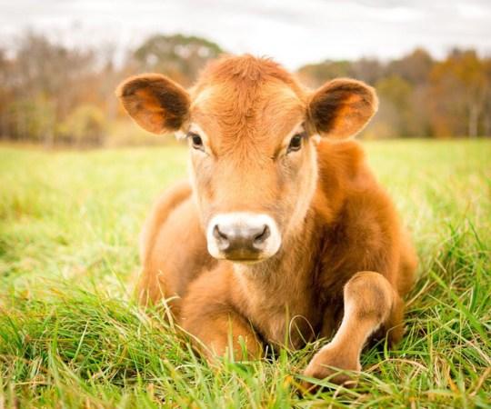 KOPSUROHI: Indias on hakatud koroonat ravima lehmasõnnikuga