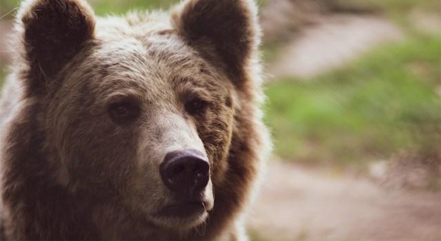 Haavatud karu tungis Soomes kallale jahimehele, kes sai raskelt vigastada