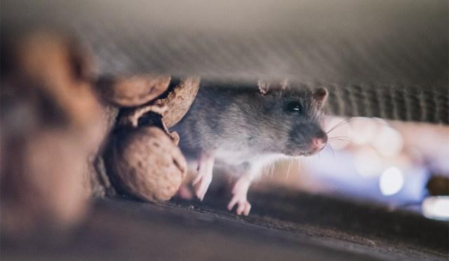 Helsingis ollakse hädas rottidega