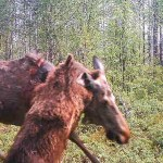 Šokeeriv pilt: Soomes ründas karu põtra