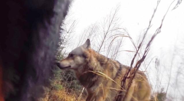 Verdtarretav video: Soome jahikoer vaatab metsas hundiga tõtt