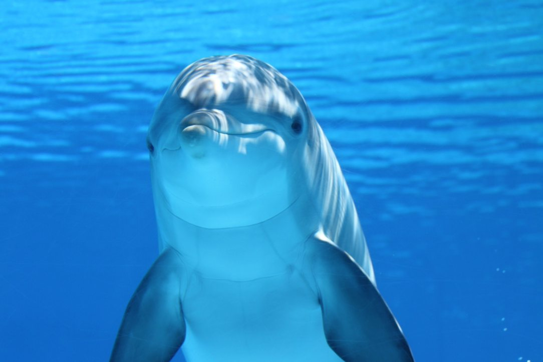 animal-bottlenose-dolphin-close-up-64219