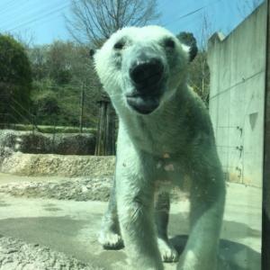 徳島動物園のホッキョクグマ