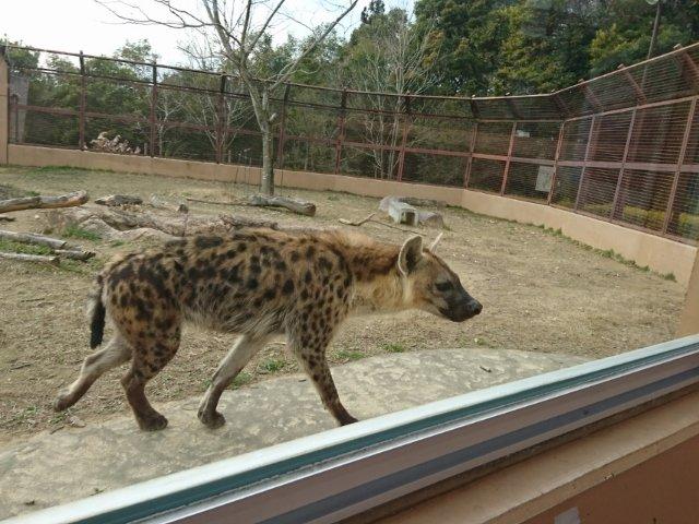 のいち動物公園のハイエナ