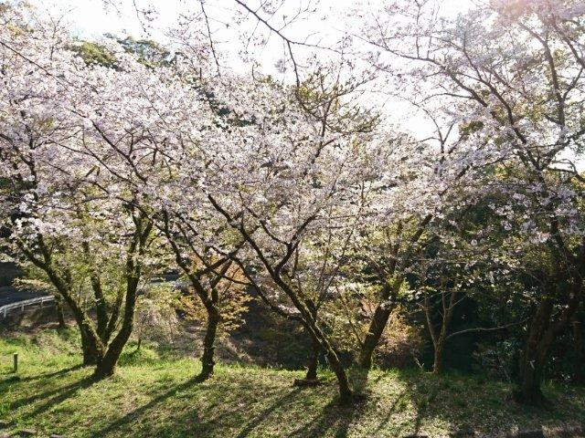 筆山公園の桜