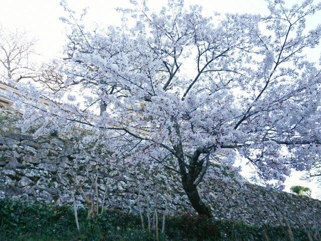 高知城の桜2
