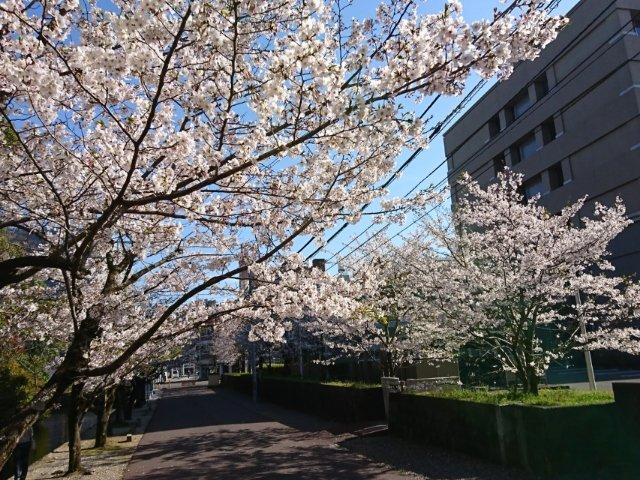 高知城の桜3