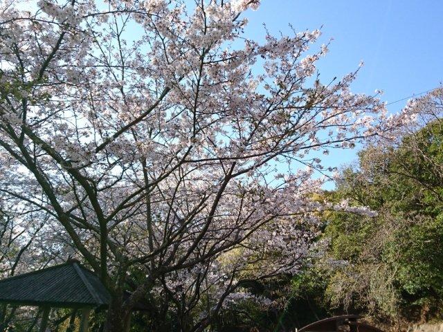 筆山公園の桜2