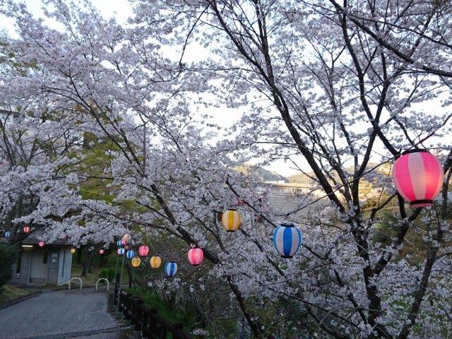 鏡川ダム公園の桜