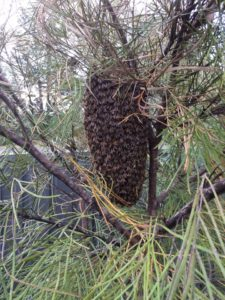 Bee Swarm in Balmoral