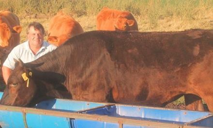 The dream to breed Wagyu cattle in the Pampas comes true