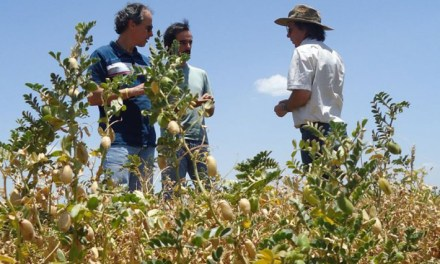 Argentina: chickpeas, peas and lentils exports drop this season