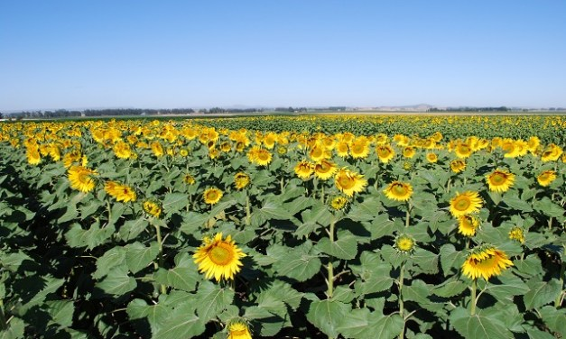Chile behind the export boom of refined sunflower oil