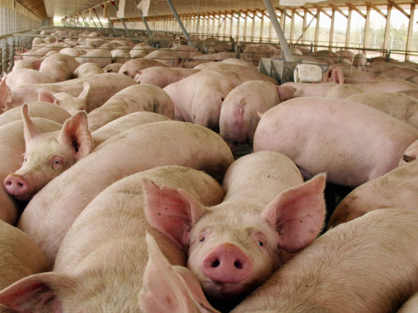 Pork meat exports. A new business is born?