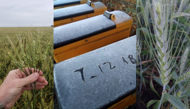 Despite heavy frost, a wheat harvest above 19 MMT is still expected