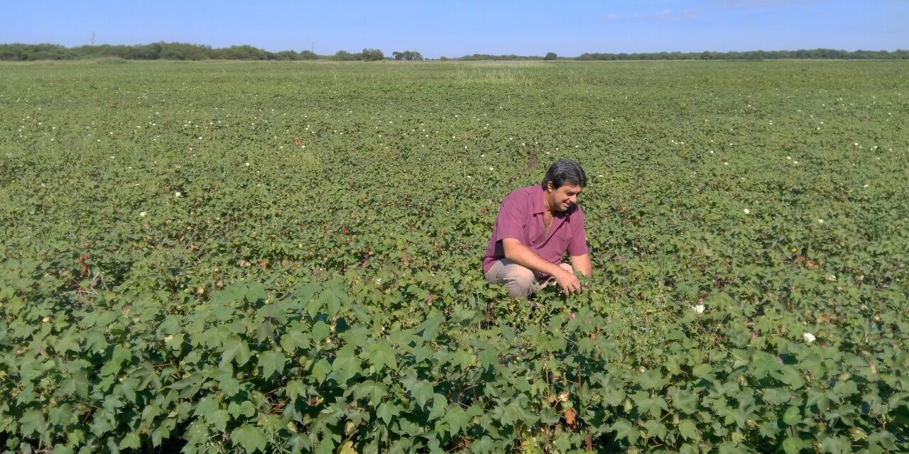 Argentina to authorize a new GMO stacked cotton