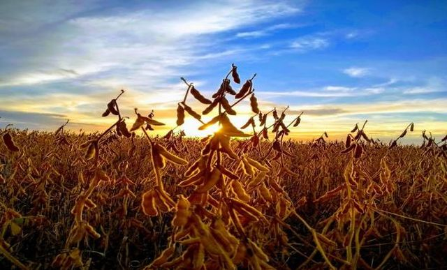 Argentine soybean suffers a discount due to its lower protein content