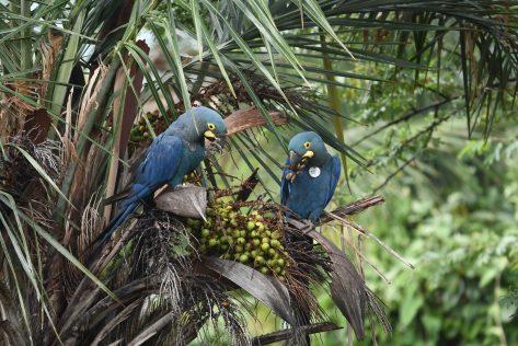 Ejemplares nacidos en Loro Parque Fundación -Tenerife, alimentándose en la naturaleza. Foto: Thiago Filadelfo