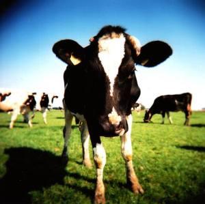 cows_flickr.jpg