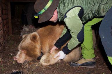 aprile 2018, si effettuano le analisi di salute dell'orso Francesco