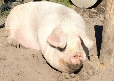 Charlotte the pig