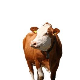 Cow after remove background