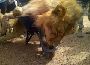 Who released, killed and ate our lion? By Reuben Abati