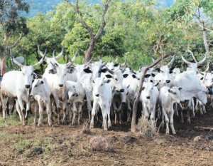 We lost 60,000 cows in Southern Kaduna-cattle association