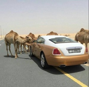 See the moment camels spotted a Rolls Royce. Respect!