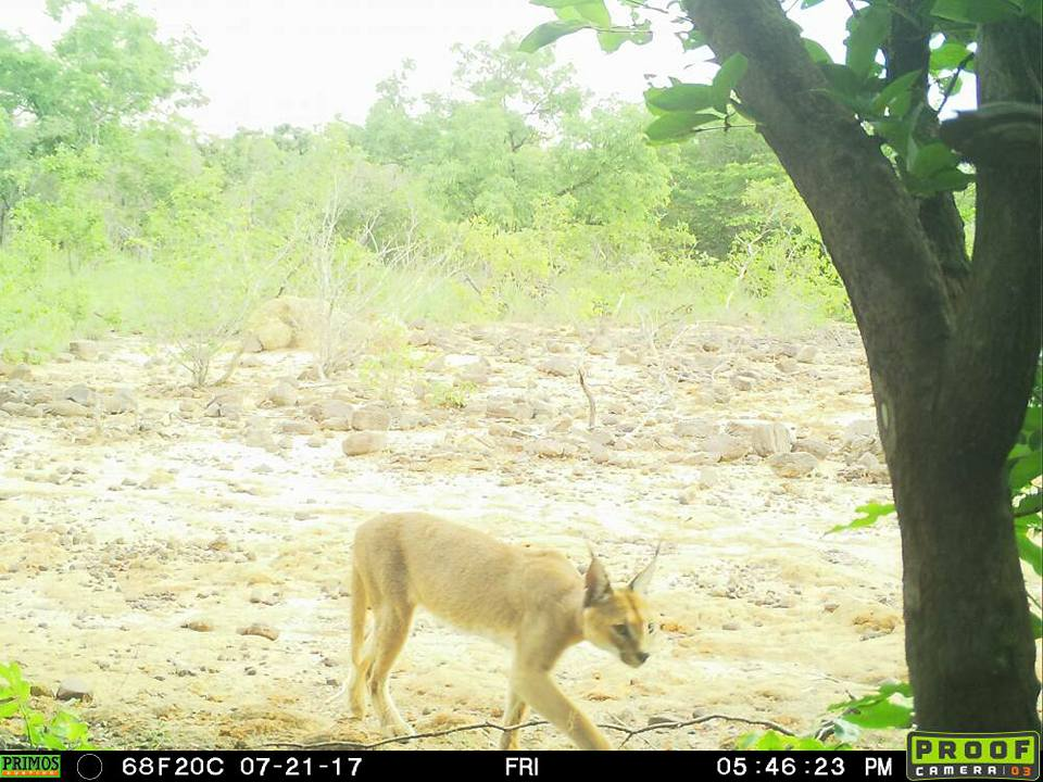 , Native rare cat spotted at Yankari Game Reserve in Bauchi State. (Photo), Effiezy - Top Nigerian News & Entertainment Website