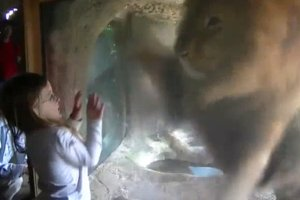 Omg: Little Girl Gets the Shock Of Her Life After Blowing Lion A Kiss in the Zoo…Checkout What Happened